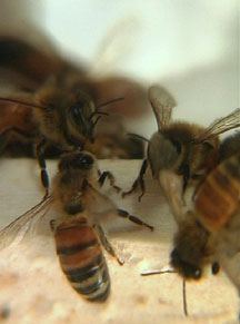 Bee Well Therapy Bee Venom Therapy Apitherapy